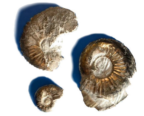 Pyrite Ammonites found in Geolabs